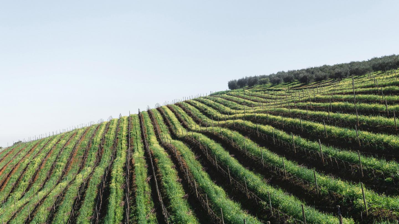 photo de vigne pour le site Internet Oregundy